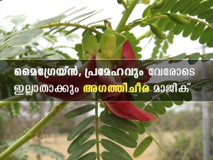 Agathi Keerai Health Benefits Uses And Side Effects In Malayalam