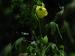 കൂടിയ പ്രമേഹത്തിന് പരിഹാരമുണ്ട് കസ്തൂരി വെണ്ടയില്
